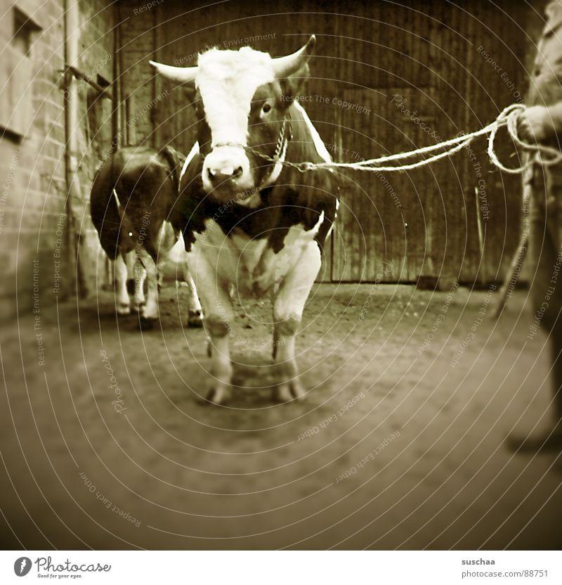 Farm Agriculture Farmer Cow Mammal Bull Barn Animal Cowshed