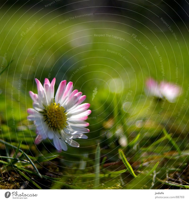 *le printemps* Flower Blossom Blossom leave Daisy Yellow White Pink Green Grass Blade of grass Green space Foreground Background picture Lighting Illuminate