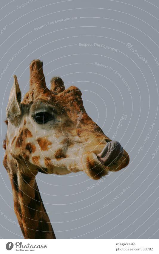 Tastes animal good Delicious Nutrition Mammal Giraffe Tongue Funny Eyes snort Neck