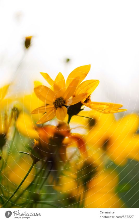 Yellow Flowers Nature Plant Beautiful Green White Summer Warmth Feminine Natural Garden Wild Gold Authentic Fresh