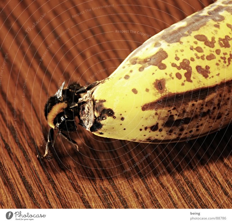 According to the laws of aerodynamics ... to fly Banana Fruit Bumble bee Bee Insect Flying Hospitality Wasps dormant To hibernate Bowl