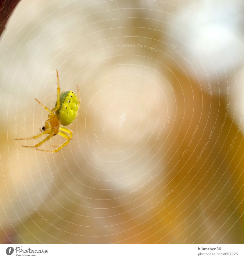 aloft Animal Wild animal Spider pumpkin spider Orb weaver spider Spider's web Spider legs Spin Net Legs Work and employment Observe Disgust Natural Yellow Fear