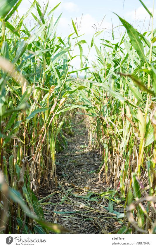 beaten path Autumn Agricultural crop Maize Maize field Eating Maze Lanes & trails Harvest Colour photo Exterior shot