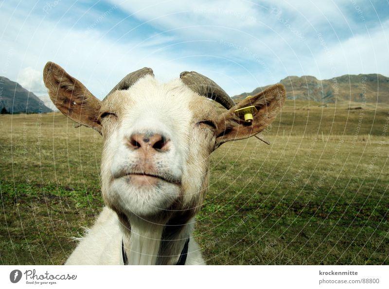 the wise white goat Alp Flix Goats Animal Meadow Switzerland Canton Graubünden Goatskin Grass Alpine pasture Green Mountain meadow To enjoy Mammal Antlers