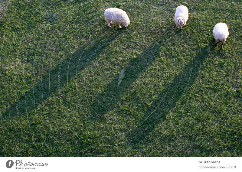 Meadow Grass Sheep Wool Lamb Buck Herdsman Mow the lawn Paunch