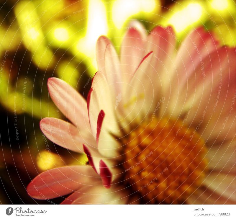 dægesege Spring Flower Daisy Plant Blossom Meadow Flower meadow Green Yellow Pink White Grass Graffiti Sun Close-up Nature