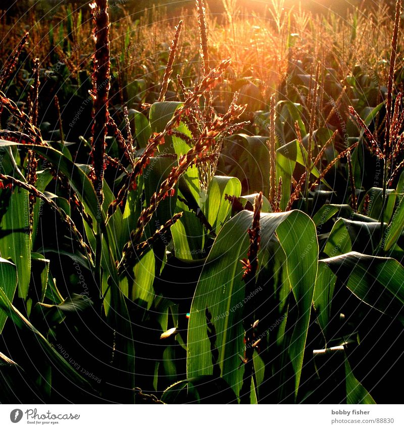 Nature Sun Green Plant Dark Bright Agriculture Harvest Organic produce Maize Grain