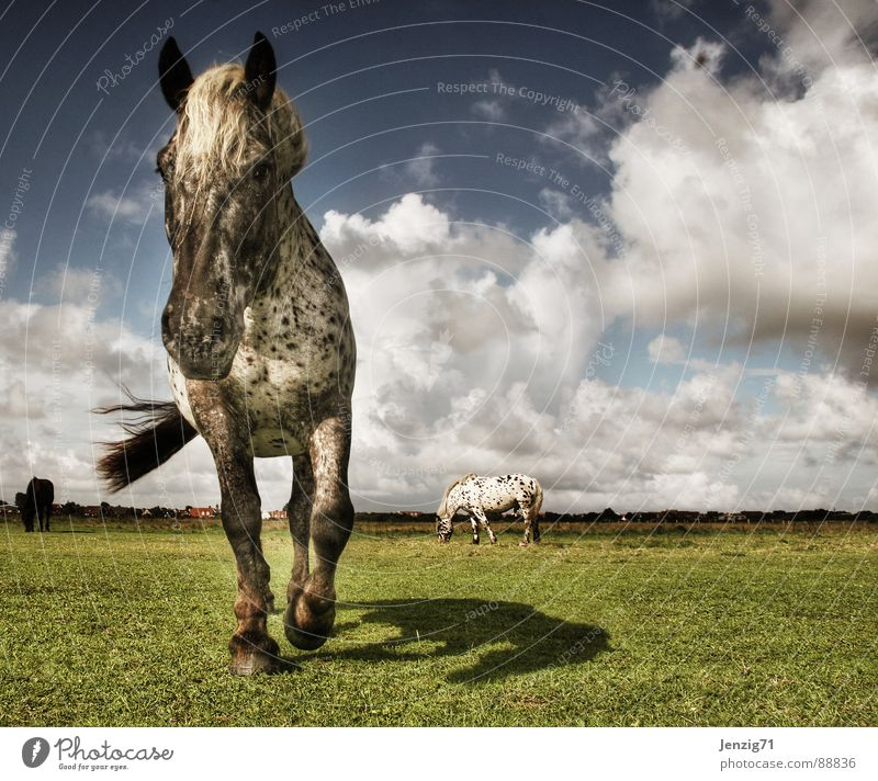 Sky Animal Clouds Meadow Grass Weather Island Horse Pelt North Sea Pasture Storm Gale Mammal Lower Saxony
