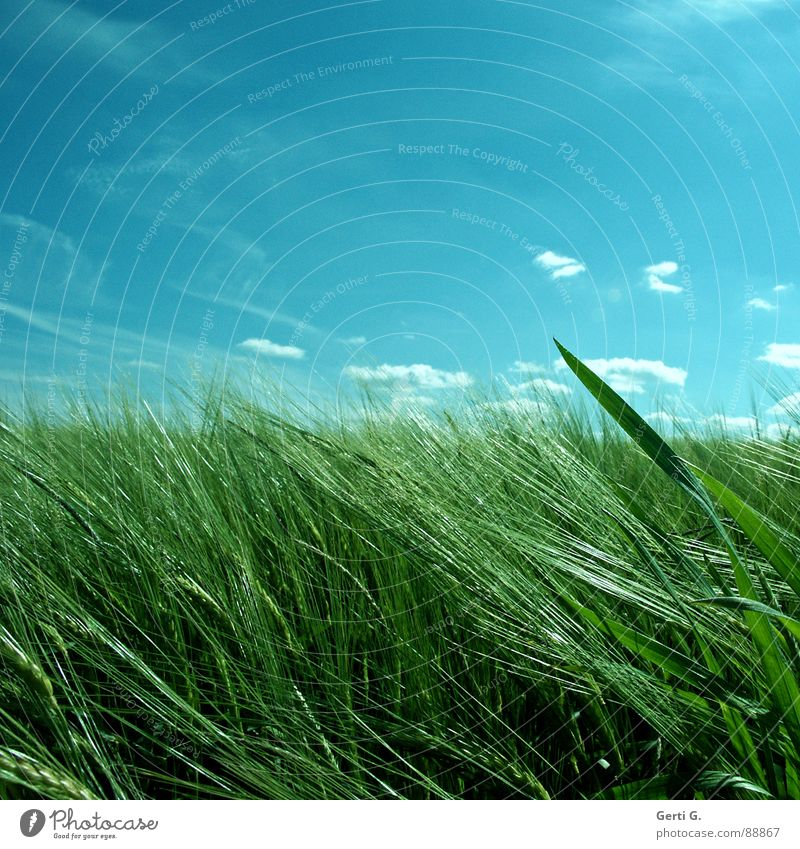 Sky Blue Green Plant Clouds Grass Healthy Field Wind Wild animal Fresh Agriculture Dive Hide Grain Harvest