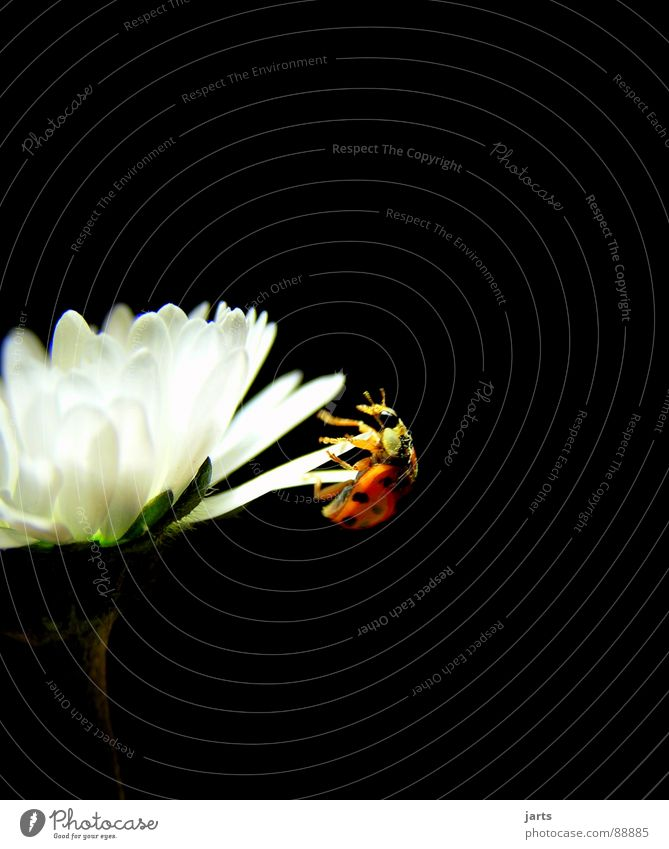 Flower Life Happy Power Fear Dangerous Insect Brave Daisy Panic Effort Ladybird Beetle Crash Recklessness