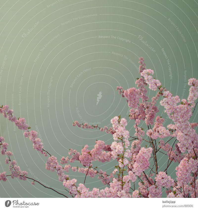 tokyo hotel Cherry Cherry blossom Flower Blossom Spring Growth Japan Tokyo Tree Fruit Blossoming teeny swarm kallejipp