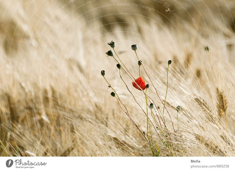 once upon a time Environment Nature Plant Summer Flower Blossom Poppy Poppy blossom Poppy capsule Grain Grain field Ear of corn Barley Barleyfield Field