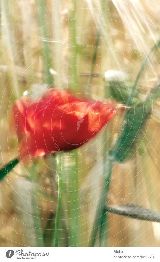 poppy Agriculture Forestry Environment Nature Plant Summer Flower Blossom Poppy Poppy blossom Grain Blade of grass Field Movement Blossoming Natural Transience