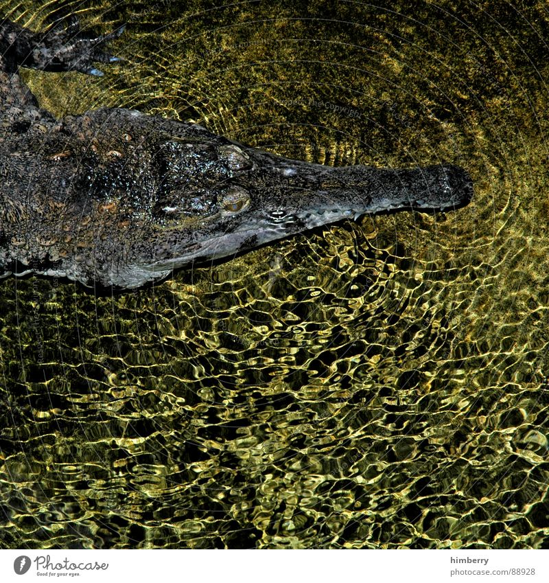 Water Animal Dangerous River Threat Zoo Aquarium Brook Reptiles Camouflage Armor-plated South America Crocodiles Crocodile Carnivore Camouflage colour