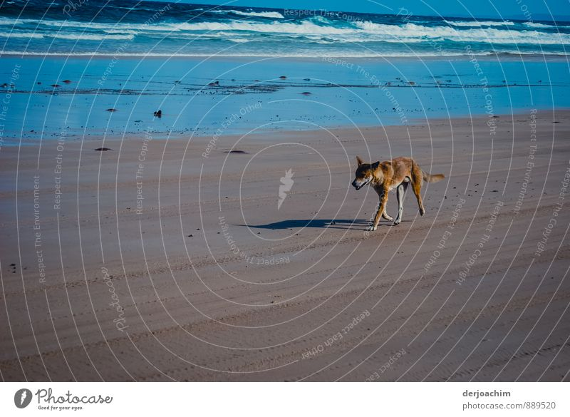 Encounter with a Dingo Leisure and hobbies Trip Beach Environment Earth Water Summer Beautiful weather Island Fraser Island Queensland Australia Deserted 1