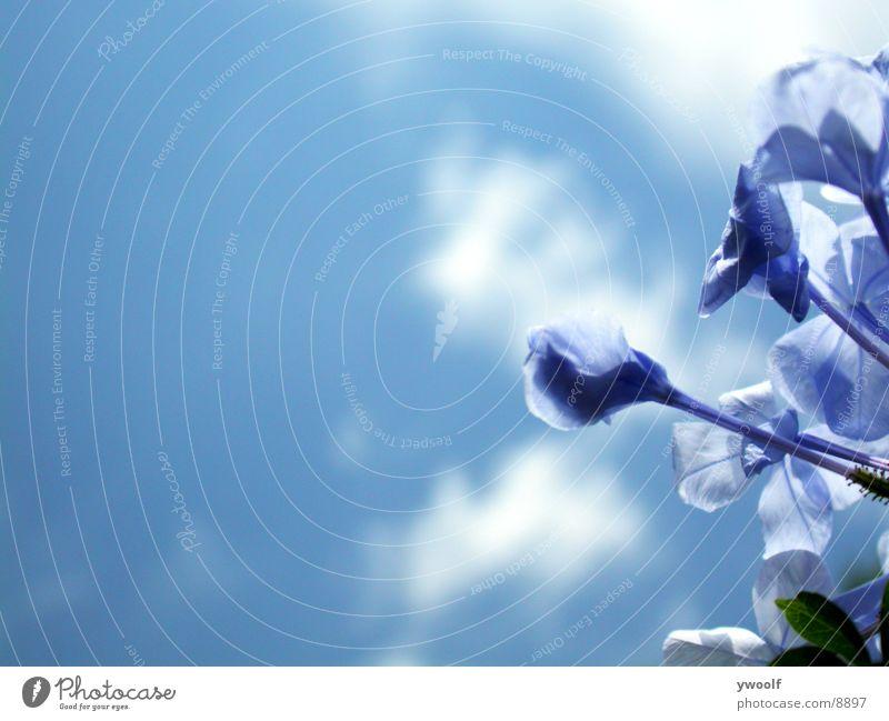 blue flowers Sky