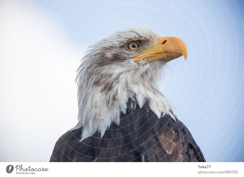 Lake Bald ADLER Nature Animal Bird Eagle Bald eagle Yellow Power Willpower Colour photo Exterior shot Close-up Deserted Shallow depth of field Animal portrait