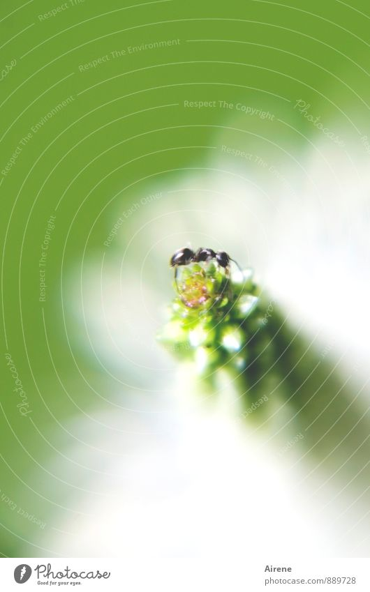 Now what? Flower Plantain Animal Ant 1 Crawl Green White Self-confident Fear of heights Effort Dexterity Climbing Colour photo Exterior shot