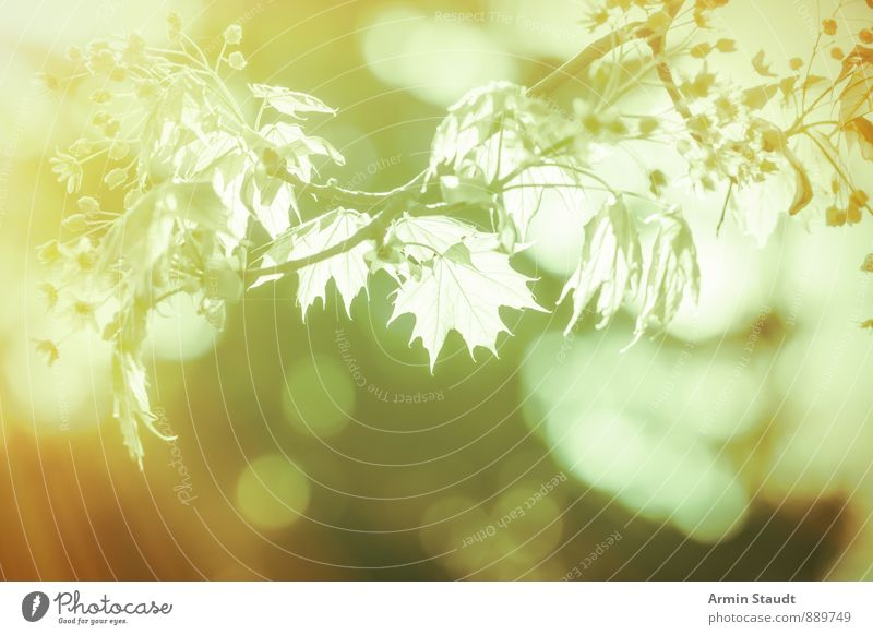 Branch - Backlight - Bokeh Harmonious Nature Plant Air Spring Summer Beautiful weather Tree Maple tree Leaf Forest Blossoming Growth Esthetic Fantastic