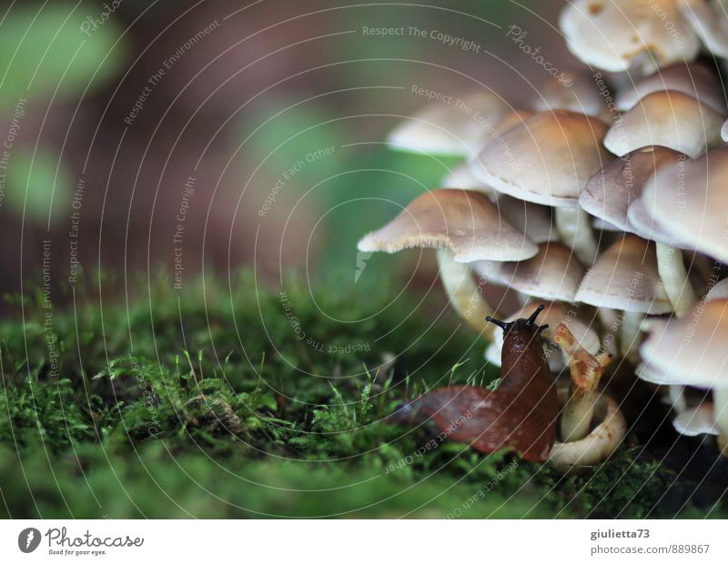 mushroom meal Environment Nature Autumn Plant Wild plant Mushroom Forest Animal Snail 1 Relaxation Eating Disgust Slimy Brown Green Serene Calm Crawl