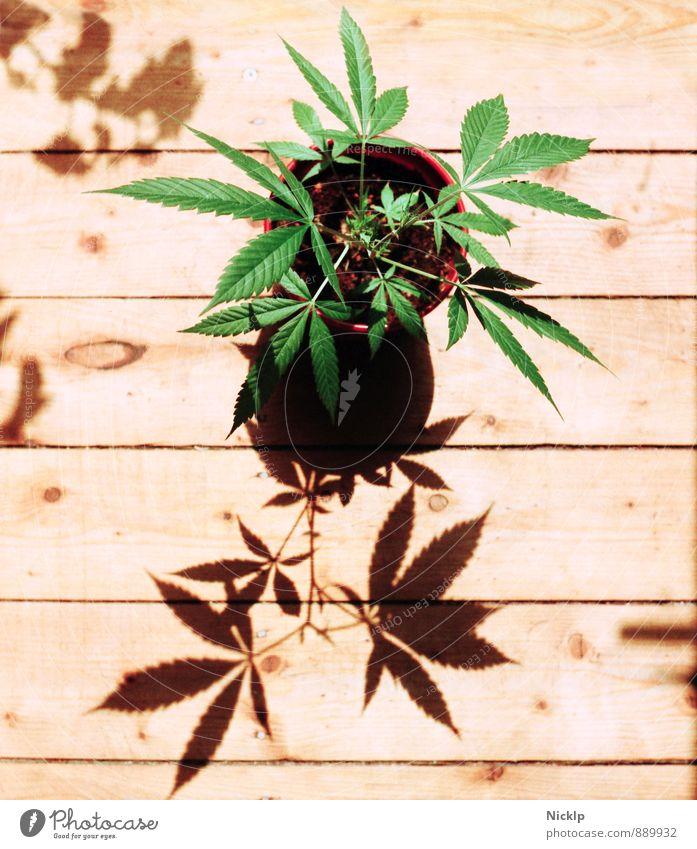 young hemp plant (cannabis) in sunlight on light wooden planks - that grows something ...so green Cannabis Grass Hemp Marijuana thc cbd legalization