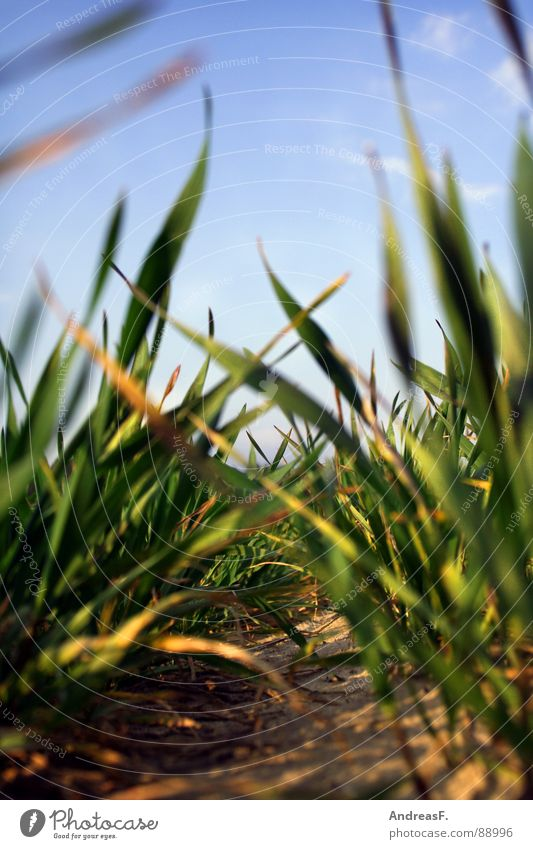 Green Plant Meadow Grass Sand Field Earth Fresh Floor covering Lie Grain Agriculture Agriculture Blue sky Tractor Maize