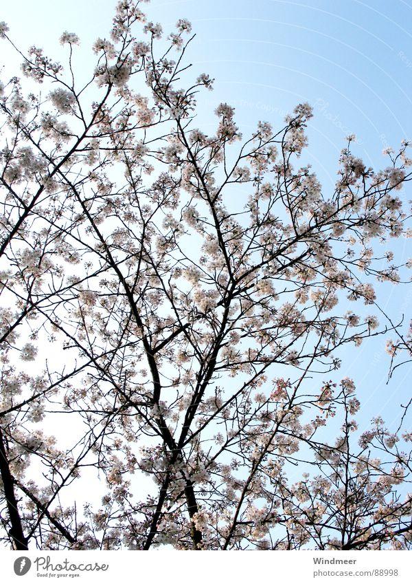 Sky Nature Plant Tree Flower Spring Blossom Jump Pink Branch Twig Bud Cherry Bielefeld