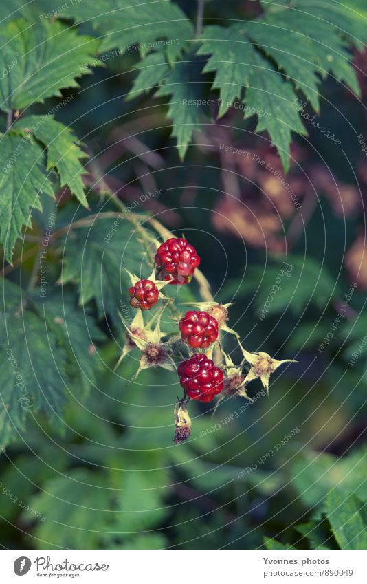 Nature Healthy Eating Plant Forest Food Natural Fruit Adventure Bushes Pure Berries Ecological Blackberry Blackberry bush
