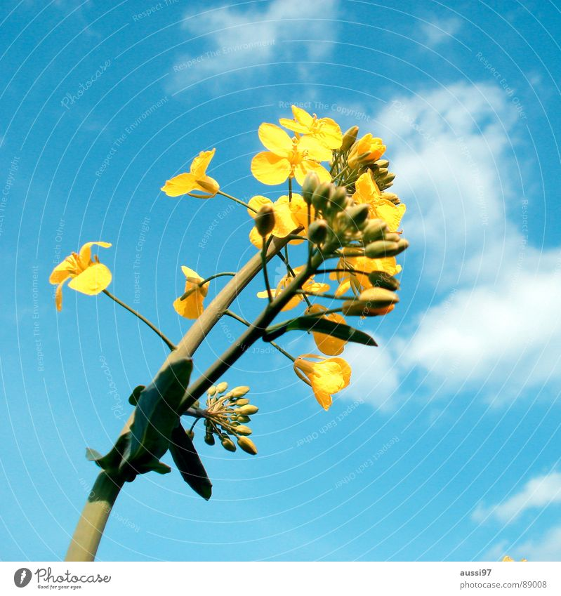 Sky Flower Blue Plant Summer Yellow Field Botany Wake up