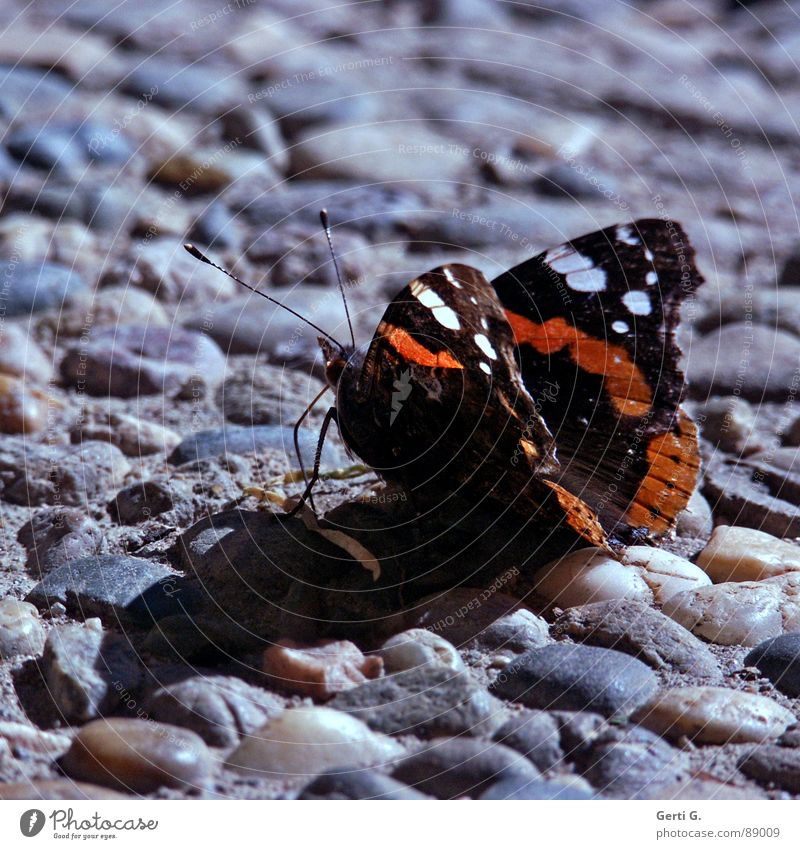 sum like it HoT Butterfly Hot Physics Sunbathing Asphalt Relaxation Stay Feeler Insect Black White Pattern Red admiral Stone Minerals Summer Warmth sunbath