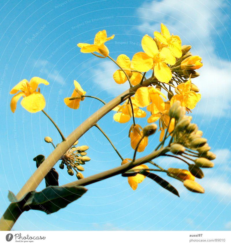 Sky Flower Blue Plant Summer Yellow Field Botany Wake up