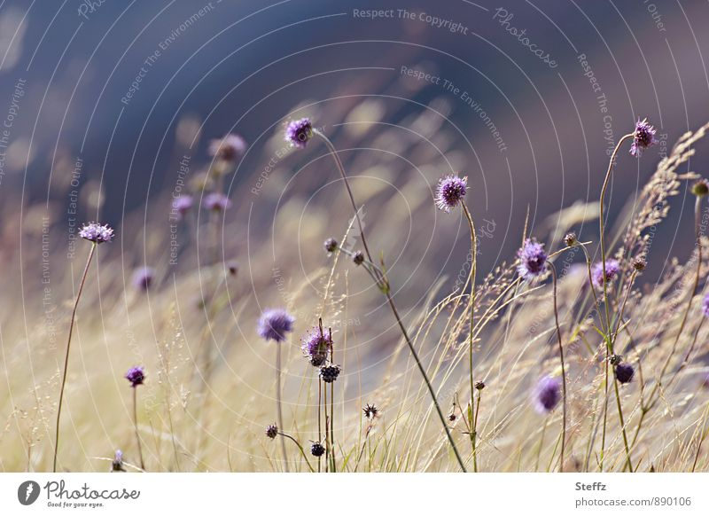 Nature Plant Beautiful Summer Flower Landscape Yellow Meadow Grass Wind Climate Violet North Scotland Nordic Wild plant