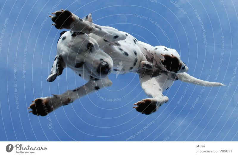 Dog from below - 5 Dalmatian Worm's-eye view Skylight Pane Animal Pet Mammal dalmation Point Patch Dappled Above