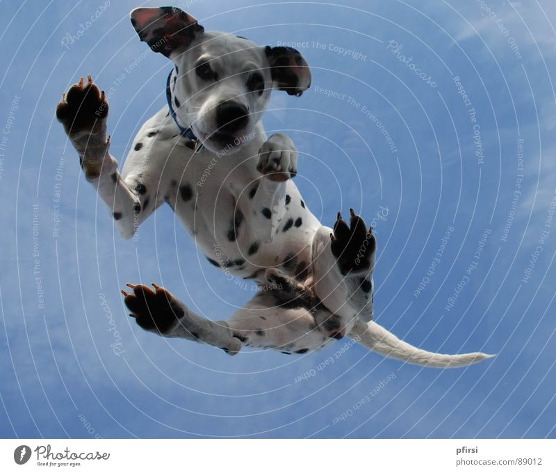 Dog from below - 6 Dalmatian Worm's-eye view Skylight Pane Animal Pet Mammal dalmation Point Patch Dappled Above