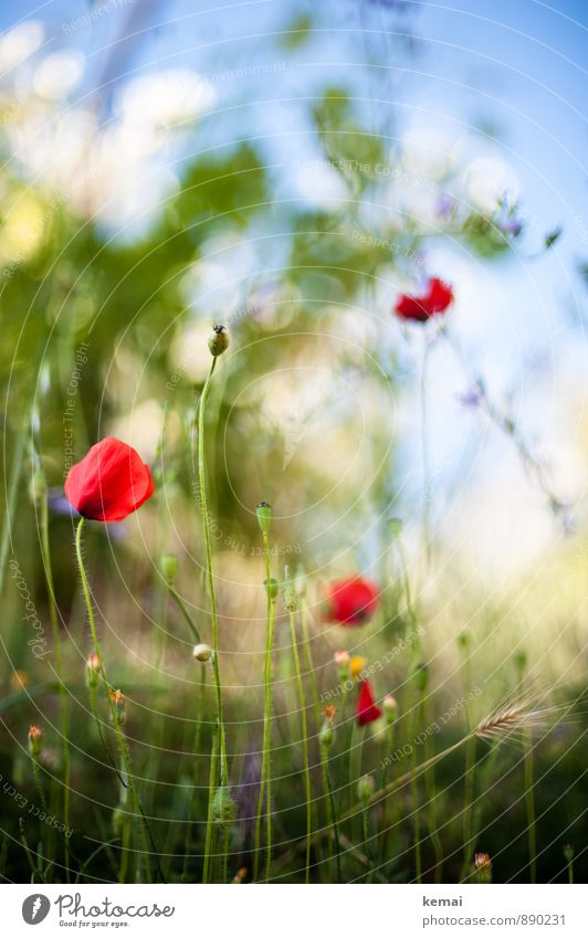 roadside flora Environment Nature Plant Sky Sunlight Summer Beautiful weather Flower Grass Blossom Foliage plant Poppy Poppy blossom Meadow Blossoming Growth