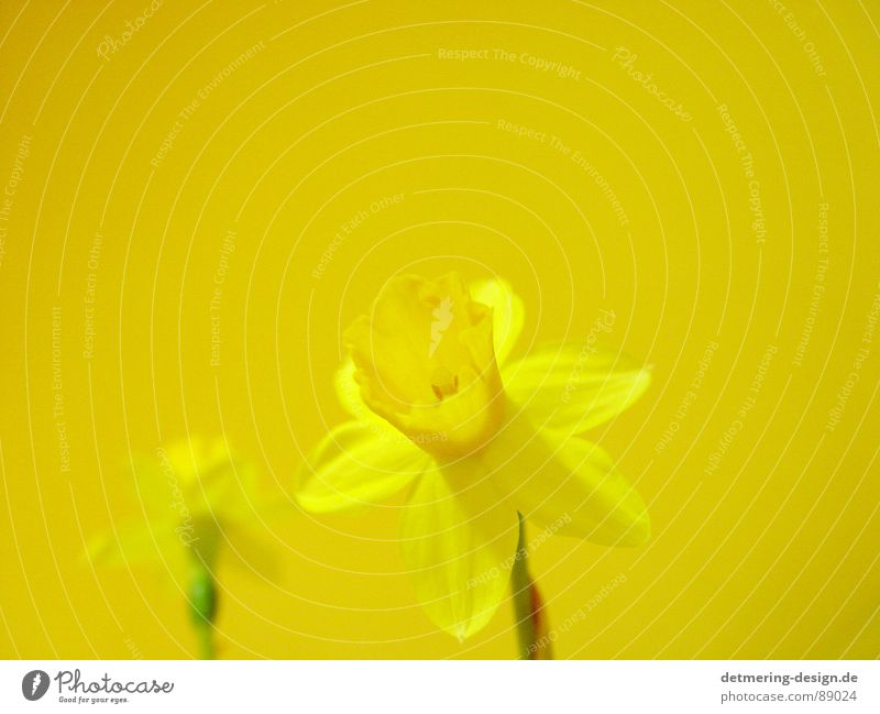 yellow flower on yellow ground* Flower Wild daffodil Yellow Friendliness Brilliant Positive Beautiful Obedient Physics Meet Comfortable Pleasant