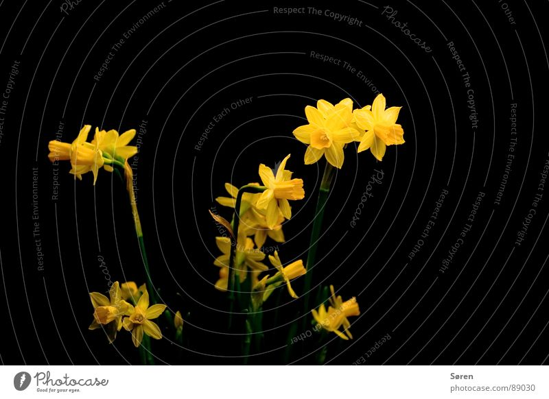 Flower Black Yellow Lighting Blossom Feasts & Celebrations Bushes Narcissus Wild daffodil