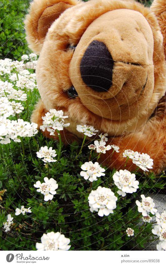 Bruno shows spring fever Teddy bear Spring Flower meadow Cuddling Soft Sweet bruno Bear Garden Infancy Cuddly Smiling Nose Close-up Exterior shot Deserted Plush