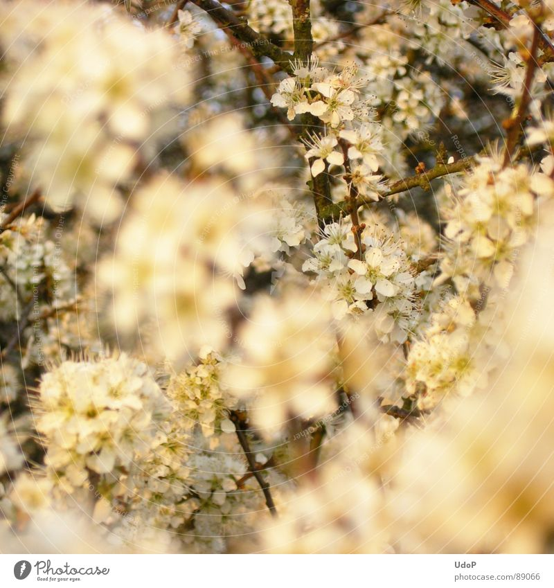 White Blossom Spring Level Blossoming Fragrance Depth of field Twig Hedge Blackthorn