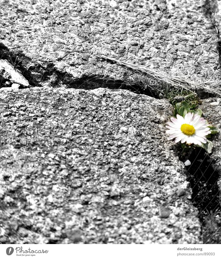 Urban niche existence Flower Daisy Sidewalk Plant Yellow Green White Gray Cold Force Nature Life Power Spring Lanes & trails Crack & Rip & Tear Column sneeze