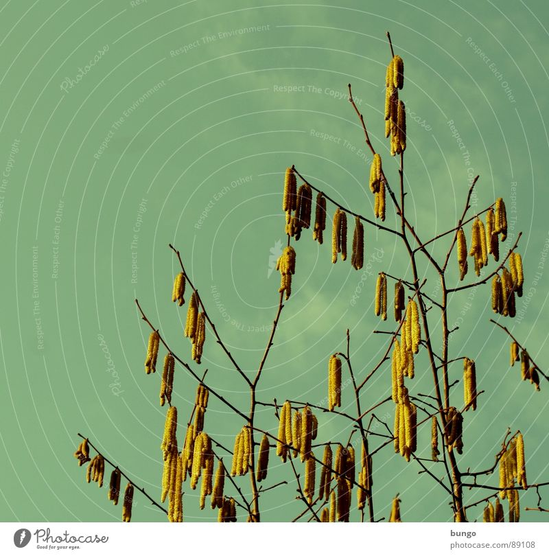 early bloomers Hazelnut Tree Spring flowering plant Clouds Blossom Growth Maturing time Propagation Fertilization more bloomy Blossoming Sky Branch Twig
