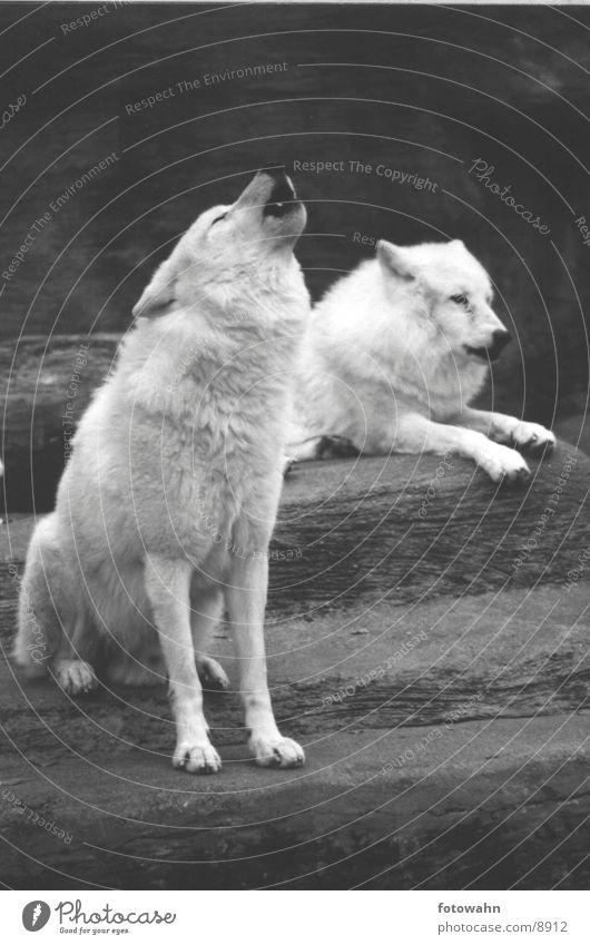 Zoo Wolf