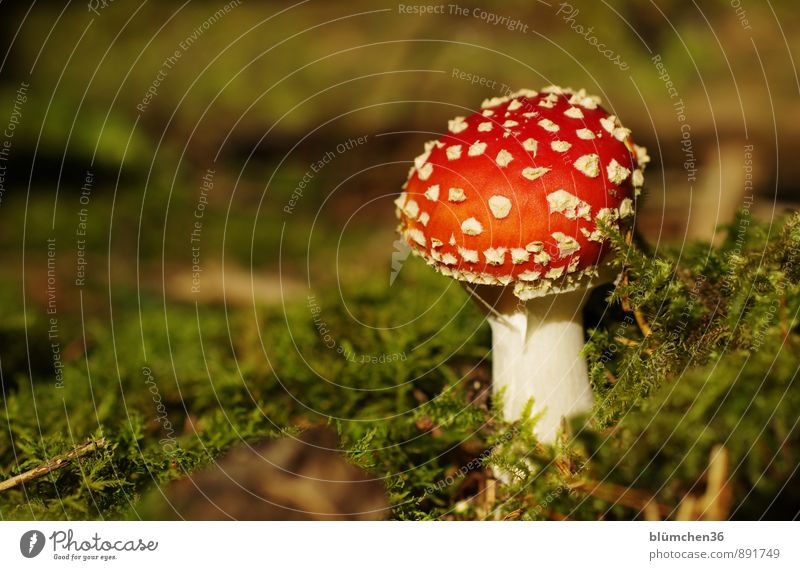 in the wood Nature Plant Autumn Moss Amanita mushroom Mushroom Mushroom cap Forest Stand Growth Threat Natural Round Beautiful Green Red White Good luck charm