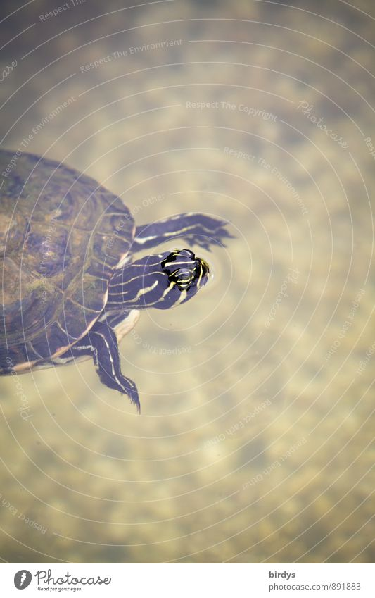 Emma floats Water Pond Pet Turtle Turles Tortoise-shell 1 Animal Breathe Looking Swimming & Bathing Old Esthetic Exotic Friendliness Positive Beautiful