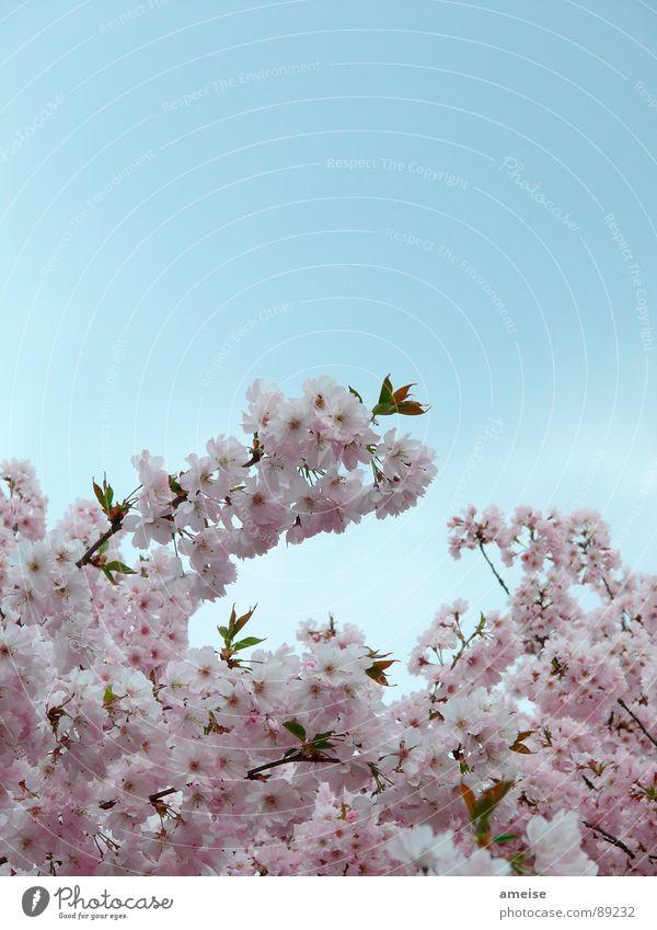 Sakura I Cherry blossom Clouds Pink White Alster Flower Spring sakura Japanese cherry blossom Nature Sky Blue