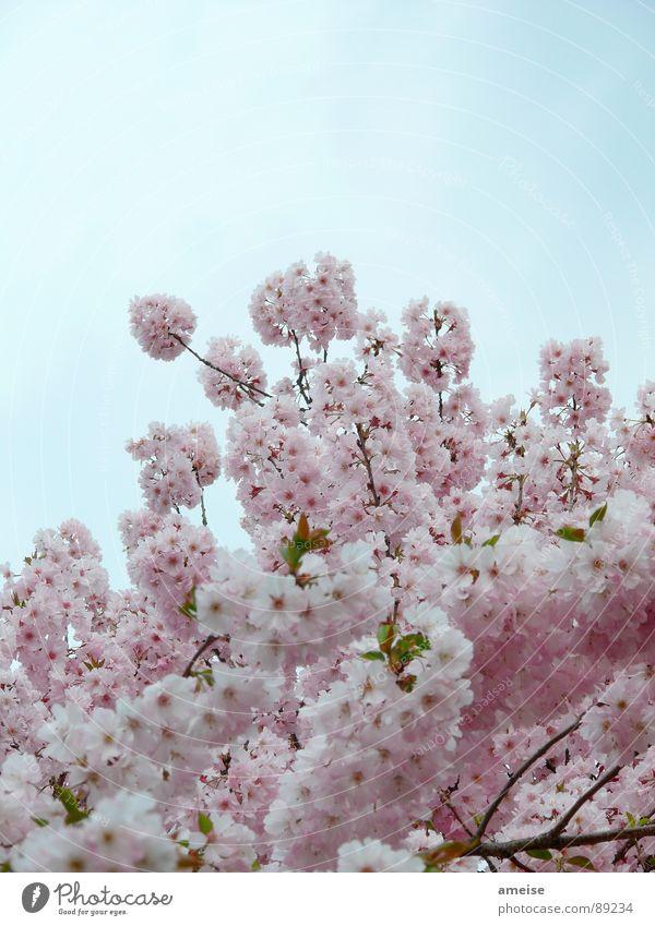 Sakura II Cherry blossom Clouds Pink White Alster Flower Spring sakura Japanese cherry blossom Nature Sky Blue