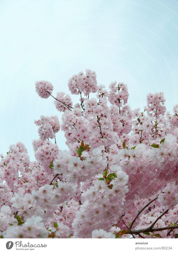 Sky Nature Blue White Flower Clouds Spring Pink Cherry blossom Alster