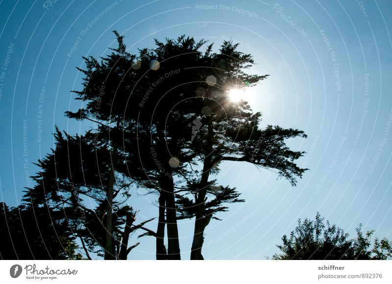 point thrower Plant Sky Cloudless sky Tree Foliage plant Blue Black White Back-light Point of light Sun Sunbeam Sunlight Shadow Silhouette Branch Treetop