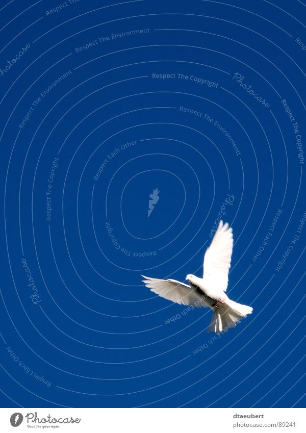 Sky White Blue Freedom Religion and faith Bird Flying Peace Symbols and metaphors Pigeon Dove of peace