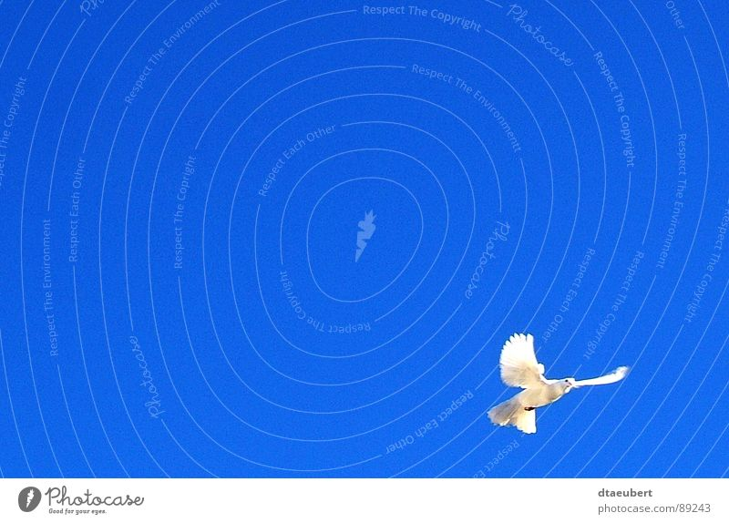 Sky Blue White Animal Movement Natural Religion and faith Feasts & Celebrations Freedom Exceptional Flying Bird Esthetic Clean Friendliness Easter